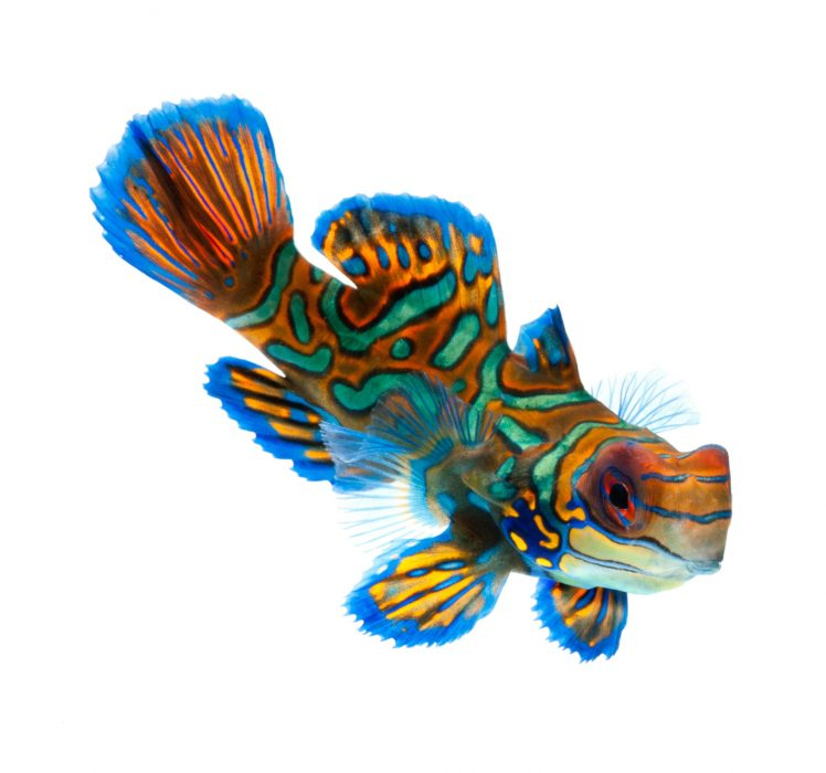 A Guide to Caring for the Mandarin Dragonet